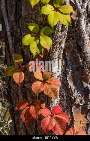 Colorful Virginia Creeper (Parthenocissus quinquefolia) vine climbing a tree trunk in Winter Garden, Florida. (USA) - Stock Photo