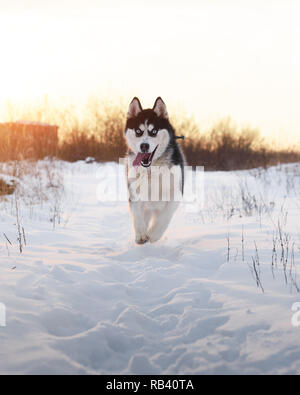 Siberian husky dog playing on winter field. Happy puppy in fluffy snow. Animal photography - Stock Photo