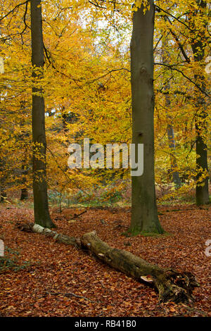 Beech forest in autumn colours, mainly yellow and orange leaves, dead and fallen tree in the foreground - Stock Photo