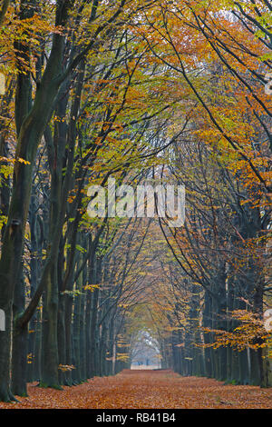 Long, straight path through a Beech forest, trees in autumn colours, mainly yellow and orange leaves - Stock Photo