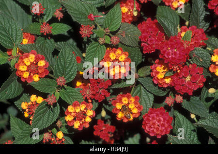 LANTANA CAMARA (COMMON LANTANA) - Stock Photo