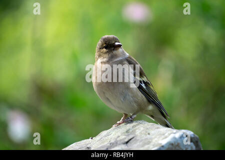 Closeup of a female Chaffinch - Fringilla coelebs -  sitting on a rock. It is a common, small, passerine bird in the finch family. - Stock Photo