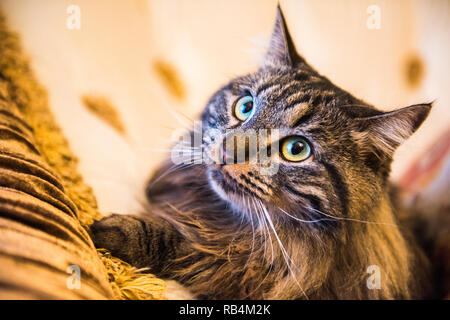 Norwegian forest cat portrait close up with big fluffy muzzle