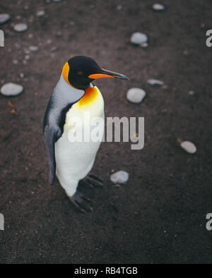 INCREDIBLE images have captured a 'sea' of penguins with hundreds of the birds as far as the eye can see. The stunning shots show the penguins gatheri - Stock Photo