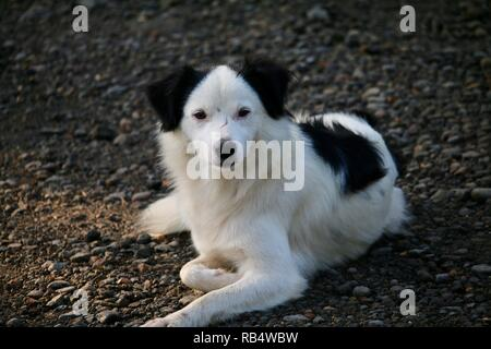 A long haired black and white dog relaxing in the early morning. - Stock Photo