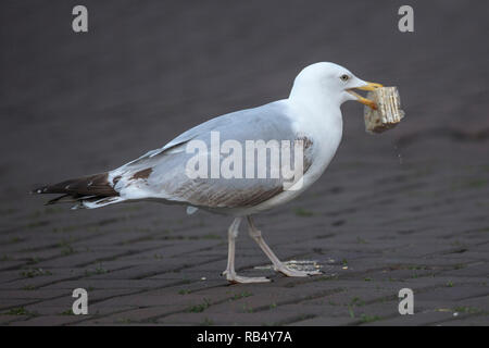 The Netherlands, Amsterdam, Keizersgracht, Gull looks for food in waste. - Stock Photo