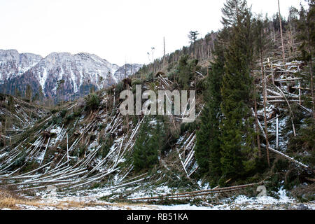 Vaia storm effect on the trees in Asiago - Stock Photo