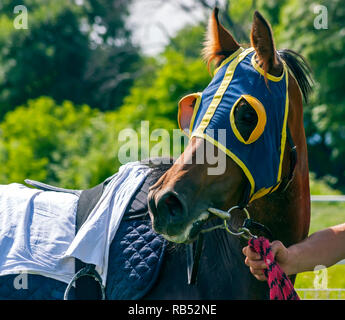 Portrait of a beautiful brown horse after a horse race. - Stock Photo