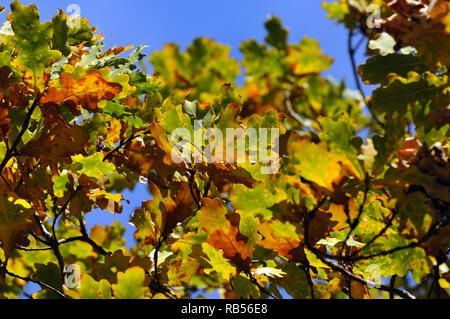 Yellowish oak leaves. Oak, Eichen, tölgy, Quercus sp. - Stock Photo