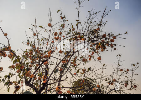 Persimmon tree with many persimmons in autumn - Stock Photo