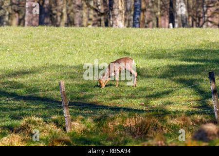 Roe deer in a meadow in early spring - Stock Photo