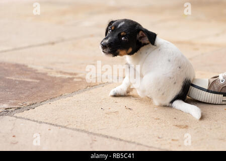 Young Jack Russell Terrier puppy 7,5 weeks old.  Cute small little doggy.  With the paw, the dog is scratching - Stock Photo