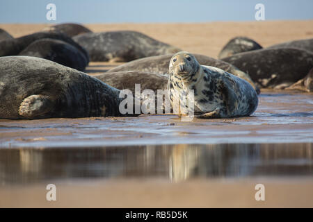 Grey seal on Donna Nook beach in Lincolnshire, UK. - Stock Photo
