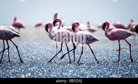 Flamingos at Walvis Bay Namibia - Stock Photo