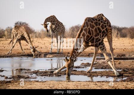 Drinking Giraffes at a Waterhole in Etosha - Stock Photo