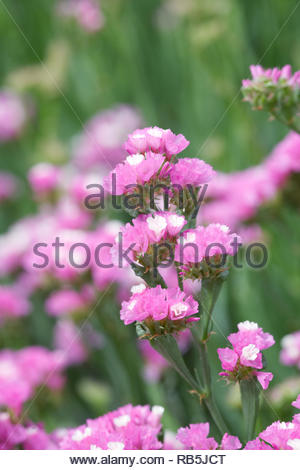 Limonium sinuatum 'Art Shades' flowers. Statice growing in a summer border. - Stock Photo