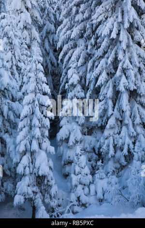 Norway spruce (Picea abies) trees covered with thick snow; winter detail - Stock Photo