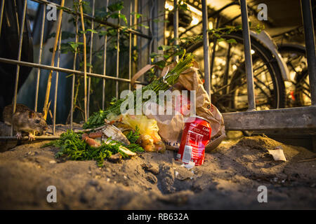 Brown rat (Rattus Norvegicus) eating from garbage near waste containers and bicycle storage, Amsterdam, The Netherlands. - Stock Photo