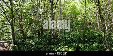 Panoramic view  of part of the wooded area in the Warren Country Park, below the East Cliffs, Capel-Le Fern, Folkstone, Kent. - Stock Photo