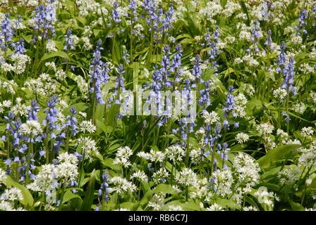 Purple and white flowers : Spanish bluebells (Hyacinthoides hispanica)  and Wild garlic (Allium ursinum) in British woodland - Stock Photo