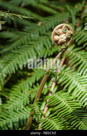 Fern unrolling a new frond in a fern forest in the Otways, Victoria Australia - Stock Photo