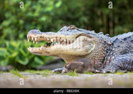 The Netherlands, Amsterdam, Alligator held as pet and Brown rat (Rattus norvegicus). - Stock Photo