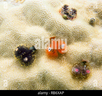 christmas worms close up in Togian islands, sulawesi - Stock Photo