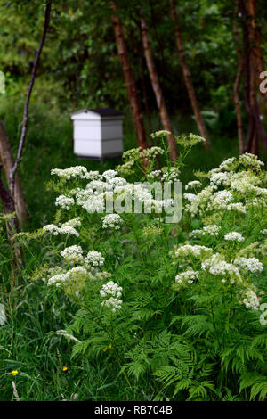 Anthriscus sylvestris,cow parsley wild chervil,wild beaked parsley,white wooden beehive,wood,woodland,shade,shady,shaded,garden,gardening,naturalistic - Stock Photo