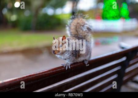 Colour landscape orientation photograph of grey squirrel (Sciurus carolinensis) standing on park bench in wet weather. - Stock Photo