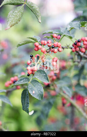 Szechuan pepper berries. - Stock Photo