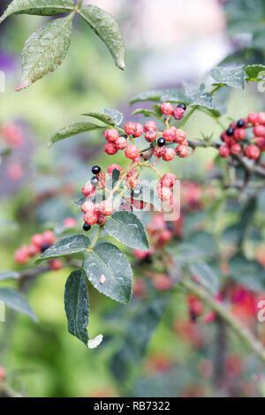 Szechuan pepper berries. - Stock Photo