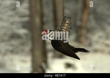 Female Pileated Woodpecker On A Suet Cake In Winter - Stock Photo
