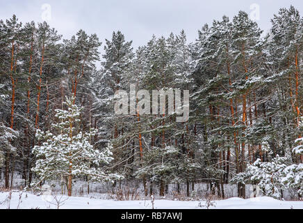 Snowy winter forest with beautiful pine trees. Winter landscape - Stock Photo