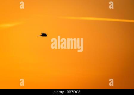 Western Marsh-harrier (Circus aeruginosus) flying at sunset in golden light. Latvia. - Stock Photo