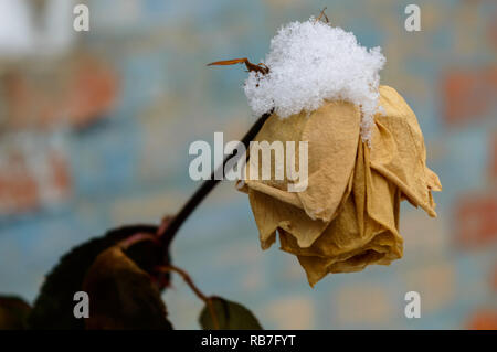 rose and snow - Stock Photo