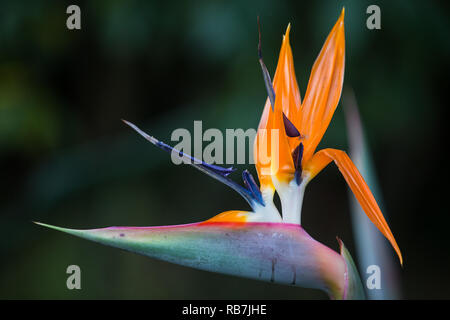 Strelitzia or Bird of Paradise or crane flower close up in Kirstenbosch Botanical garden in Cape Town, South Africa - Stock Photo