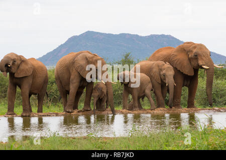 elephant herd or family of elephants drinking at a water hole or watering hole in the wild at Madikwe Game Reserve in South Africa, Africa - Stock Photo