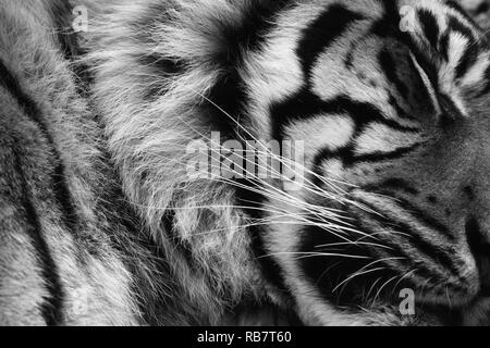 Sleeping tiger close up in black and white - Stock Photo