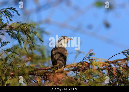 yellow-billed cuckoo ( Coccyzus americanus) - Stock Photo
