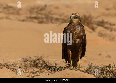 Marsh Harrier / Circus aeruginosus - Stock Photo