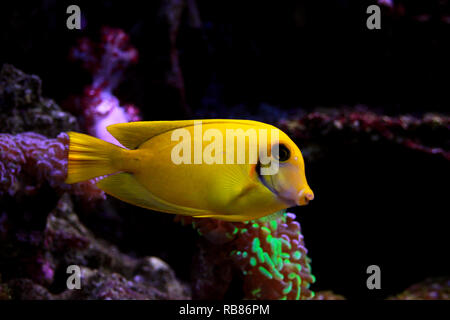 Lemon Tang aka Chocolate tang (Acanthurus sp.) - Stock Photo