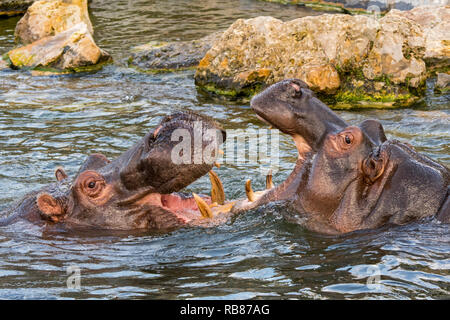 Fighting hippopotamuses / hippos (Hippopotamus amphibius) in lake showing huge teeth and large canine tusks in wide open mouth - Stock Photo
