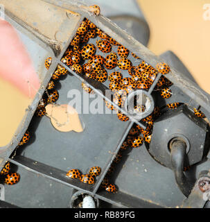 Ladybirds over-wintering in light fitting - Stock Photo