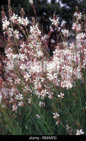 WHITE BUTTERFLY BUSH (OENOTHERA LINDHEIMERI FORMERLY GAURA LINDHEIMERI) HERBACEOUS PERENNIAL - Stock Photo