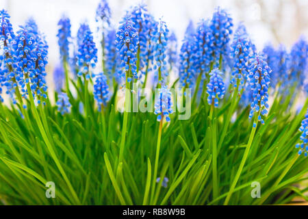 Spring background with blue flowers grape hyacinth, close-up with copy space - Stock Photo
