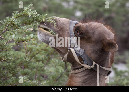 Camels eating plants in Nubra valley in Ladakh, India - Stock Photo