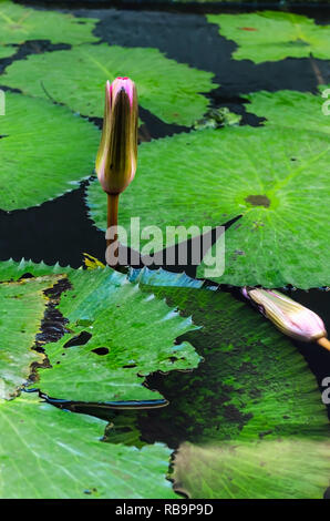 Lily of Water bud. It is also known as Water lily, Water lilies, Nymphaea and other names. Its scientific name is Nymphaea spp and belongs to the Nymp - Stock Photo