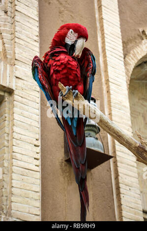 Colorful beautiful parrot ,red macaw parrot sitting on the branch against a brick wall - Stock Photo