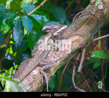 Adult Brown or Striped Basilisk (Basiliscus vittatus) at rain forest, Quepos, Costa Rica - Stock Photo