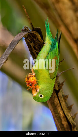 Orange-chinned, or Tovi parakeet (Brotogeris jugularis) eating fruits, Quepos, Costa Rica - Stock Photo
